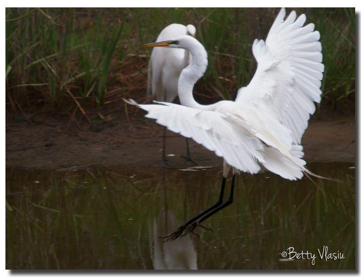 https://flic.kr/p/SQzUyi | Great Egret