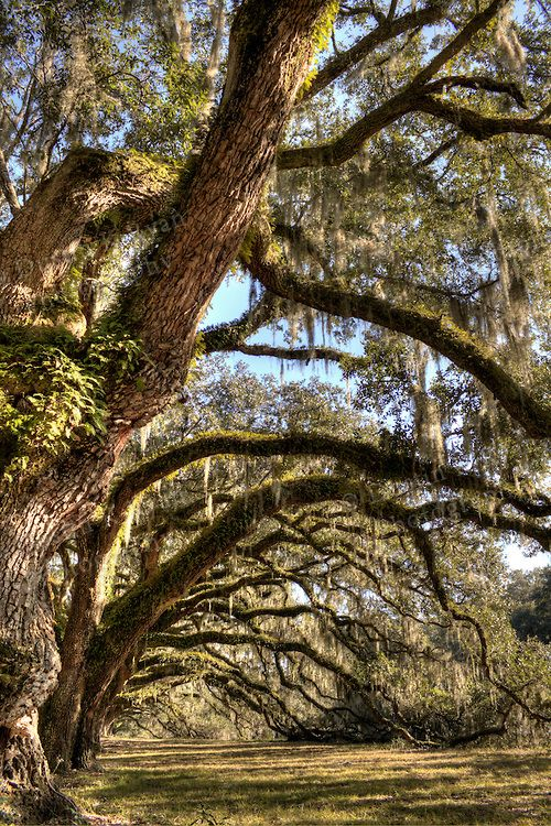 oldest oak tree north carolina   Southern Live Oak Trees old south carolina tree High dynamic Range HDR ...