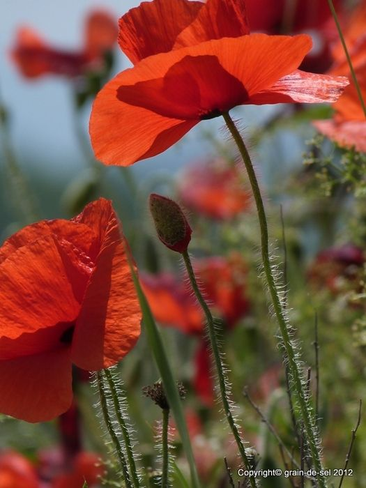 Wann Bluht Mohn Mohn Mohnblume Blumenmotiv