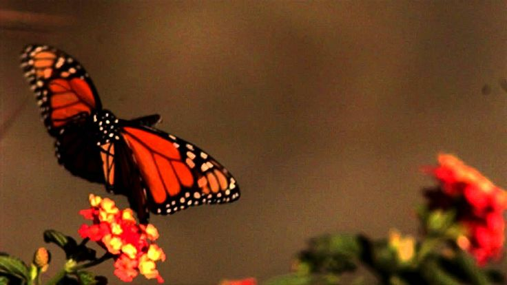 Slow motion makes butterflies just so magical and soothing to watch. They are more majestic in slow motion. Just like bees world wide butterflies seem to be ...