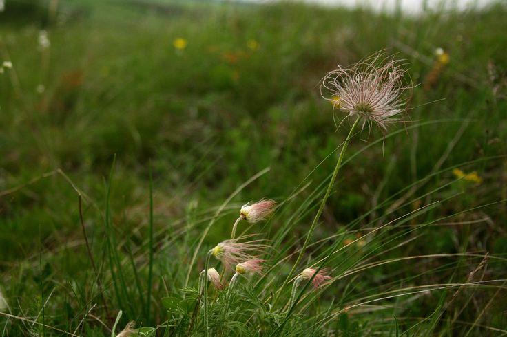 Pulsatilla pratensis (Small Pasque Flower)