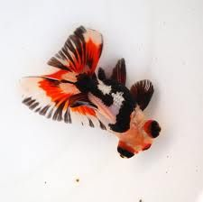 Black, white and red, tricolor, butterfly telescope goldfish.