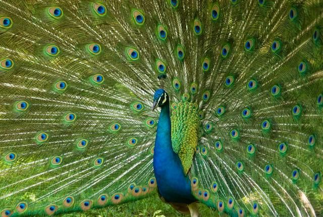 With its massive tail and iridescent colors, this bird has long fascinated its human observers—and we're still learning its secrets.