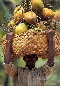 Basket with harvest of coconuts, Tamil Nadu, India.