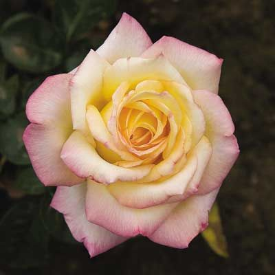 Hybrid Tea Rose: Rosa 'Madame A Meilland' AKA 'Peace' (France, 1935)