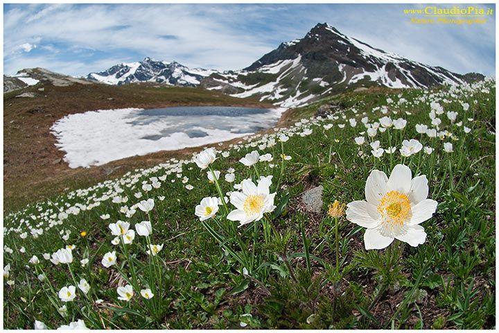 pulsatilla alpina, fiori di montagna, alpini, fotografia, foto, alpine flowers, gran paradiso