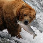 Katmai National Park, famous for volcanoes, brown bear, pristine waterways, abundant fish, and remote wilderness.