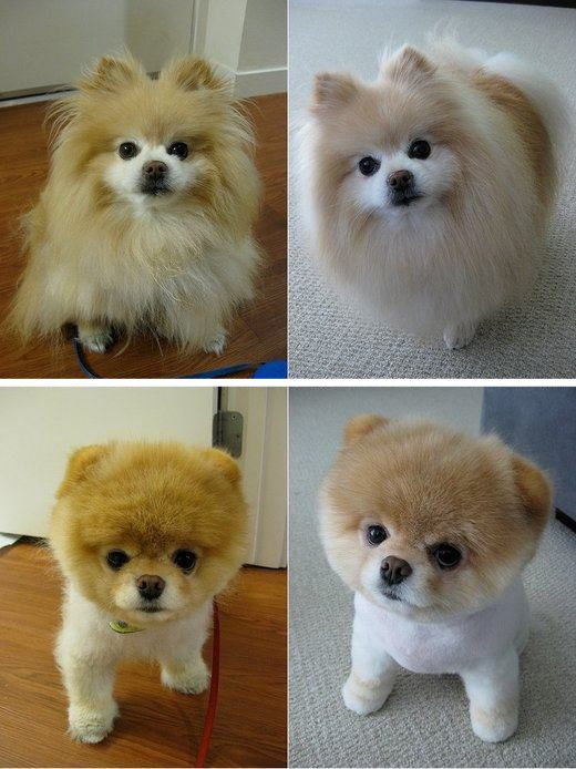 Dog Haircuts Before and After - From high maintenance to low maintenance. Love it