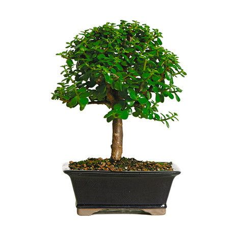 The Dwarf Jade Bonsai Tree From Nursery Tree Wholesalers Is A Spectacular Specimen With Rounded Small Fleshy Green Leaves Which Is A Stark Contrast To