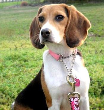 The Beagle is a sturdy, hardy little hound dog which looks like