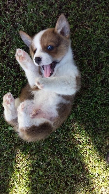They look cute on a freshly mowed lawns. | 71 Reasons We Need To SAVE CORGIS FROM EXTINCTION