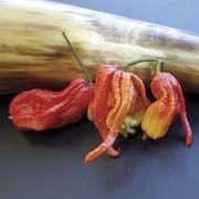 Plant-Ghost (Bhut Jolokia) Pepper