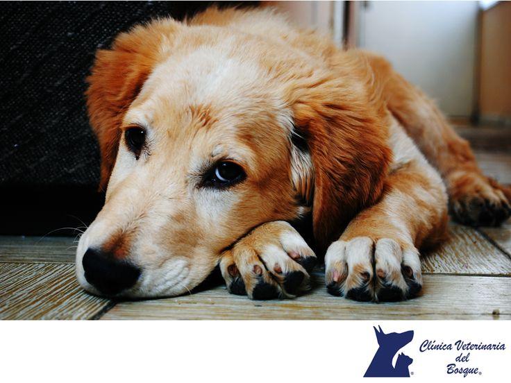 Mi perro tiene epilepsia. LA MEJOR CLÍNICA VETERINARIA DE MÉXICO. Los perros con epilepsia pueden tener una vida normal y feliz, siempre y cuando se respete su tratamiento y se determine la causa, muchas veces no llegamos a la causa y lo disgnosticamos como idipático (causa desconocida) pero podemos controlarlo. En Clínica Veterinaria del Bosque contamos con médicos expertos para cuidar y tratar la salud integral de tu mascota. #veterinariadelbosque