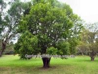 cheese tree  Glochidion ferdinandi  compact tree with small glossy leaves; button-shaped fruit; moist soils; attracts wildlife