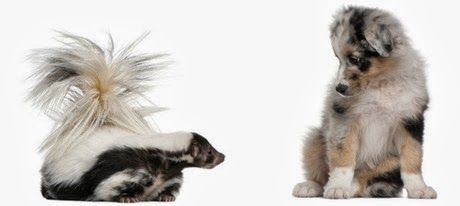 Kutter Pet Care Blog: What to do if your dog gets skunked