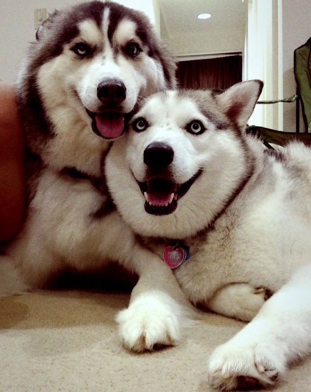 Happy Huskies