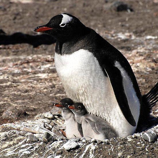 Antarctica gentoo penguin breeding chicks