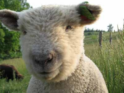 Babydoll Sheep for Sale | Babydoll Southdown Sheep for Sale