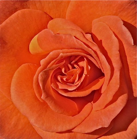 Orange Garden Rose 75 best orange garden images on pinterest | flowers, flower