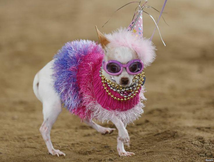 Bianca, seekor anjing chihuahua, bertanding di Doggie Gras Parade and Fat Cat tahunan kedua hari Selasa di Pusat Binatang Helen Woodward di Rancho Santa Fe, California, 4 Maret 2014. Bianca memenangkan kontes tersebut dan diberikan gelar ratu parade anjing tersebut.
