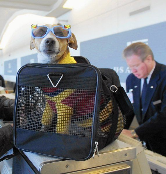 Enough with the fake service dogs and 'emotional support' pigs  Frequent fliers offer up a silent prayer each time they board a plane: Please, God, don't let me be seated next to a gregarious blowhard or a crying baby. Soon enough, they might want to add, or a pig.  http://www.chicagotribune.com/news/opinion/editorials/ct-ada-fake-service-animals-guide-dog-edit-jm-20150116-story.html