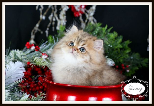 Golden Chinchilla Teacup Persian Kitten For Sale