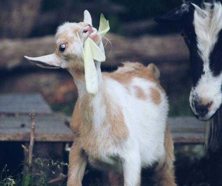 778 Best Goat Farm Images On Pinterest: 25+ Best Ideas About Funny Goat Pictures On Pinterest