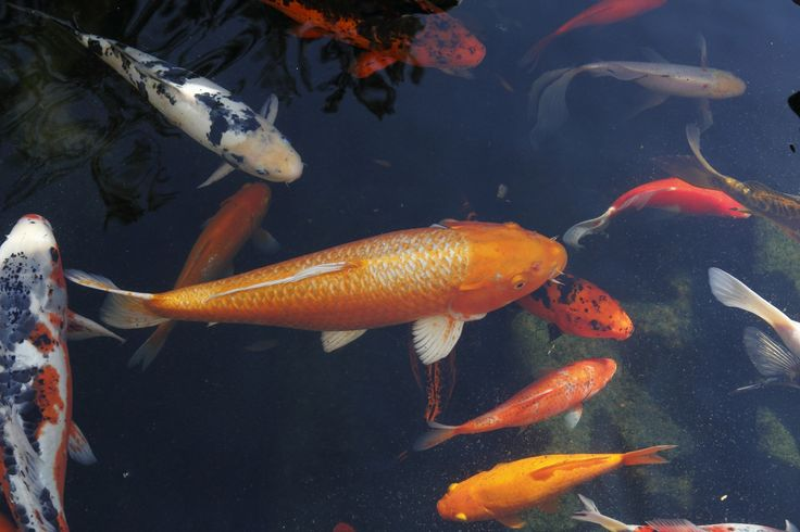 316 best koi pond images on pinterest koi ponds water for Koi 9 en israel