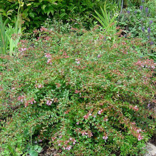 Abelia edward goucher est un arbuste aux branches arqu es for Plante 7 feuilles