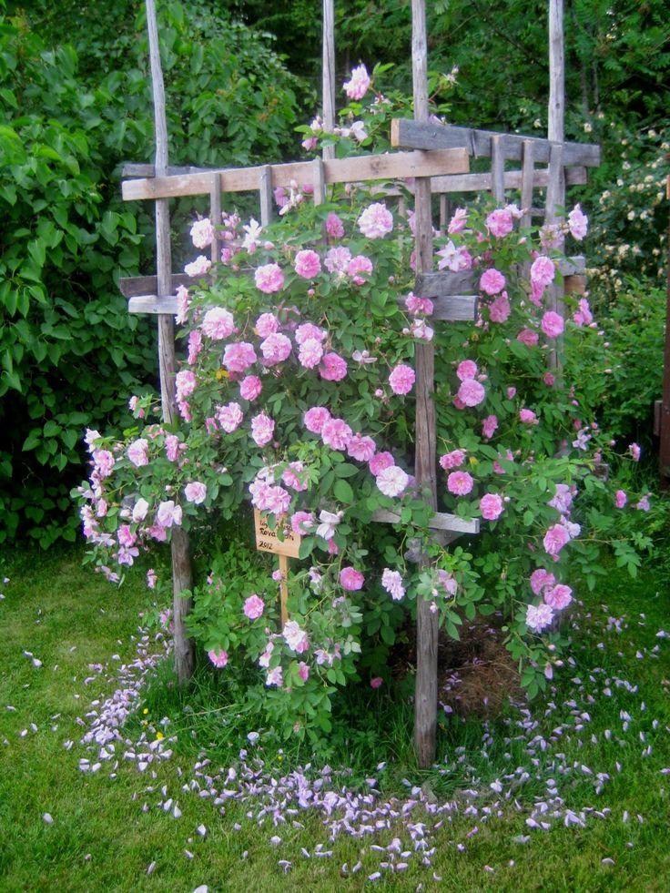 Ruusu Onni. Metsätontun Ruusutarha: Onneksi omistan Onnen!