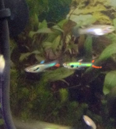 17 best images about endlers livebearer guppy on Livebearer aquarium fish