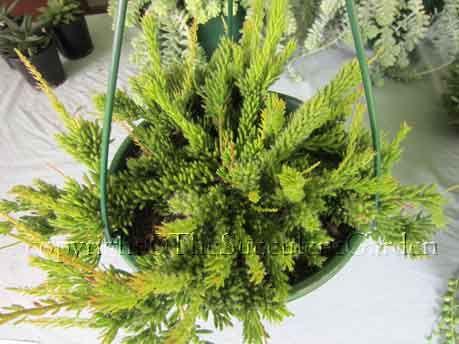251 besten rhipsalis bilder auf pinterest sukkulenten for Dekor von zierpflanzen