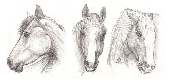 Drawing lesson for Beginner artists: The proportions of a horse - Step 4 : Drawing the head