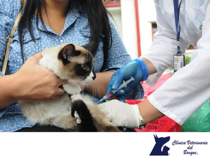 ¿Cada cuánto debo vacunar a mi mascota? LA MEJOR CLÍNICA VETERINARIA DE MÉXICO. Los perros y gatos deben ser vacunados una vez al año contra las enfermedades más comunes como: rabia, moquillo, parainfluenza y parvovirus, entre otras. En Clínica Veterinaria del Bosque contamos con médicos veterinarios expertos para proteger la salud de tu mascota. Te invitamos a visitar nuestro sitio web www.veterinariadelbosque.com, para conocer los servicios que ofrecemos.  #veterinaria