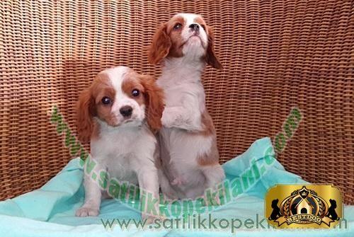 Bestdog Heaven-Bursa Köpek Çiftiliği - Satılık Köpek İlanları