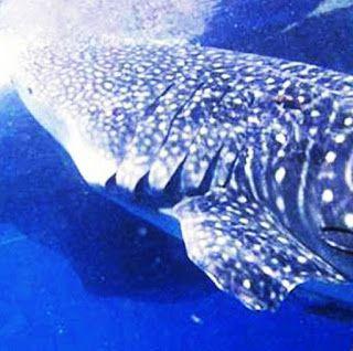 Il Pollaio delle News: Salvati alcuni squali balena nelle isole delle Mol...