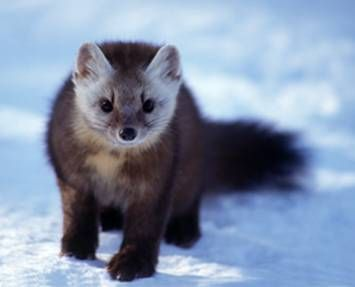 The American Marten is a small animal of the weasel family with golden brown fur and a yellow chest. Description from vraley.wikispaces.com. I searched for this on bing.com/images