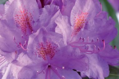 Rhododendron 'Catawbiense Grandiflorum'  Rhododendron 'Catawbiense Grandiflorum' är en städsegrön rhododendron med lila blommor. Denna sort av rhododendron blommar från maj till juni. Den blir upp till 2-3 meter hög och ca 2 meter bred.