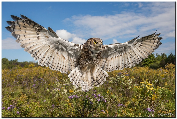 Great Horned Owl Wingspan!  by Conrad Tan, via 500px