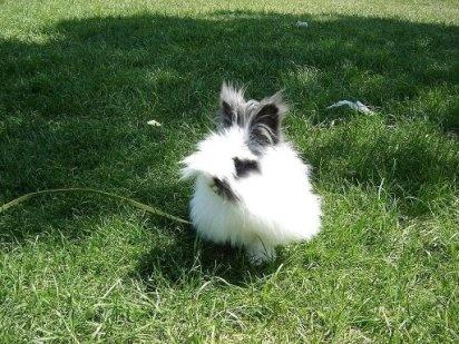 El conejo Belier
