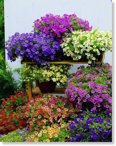 Calibrachoa assorted garden inspirations pinterest - Calibrachoa perenne ...