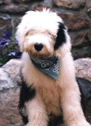 Old English Sheepdog. The amiable Old English is jolly but gentle. At home, it is a well-mannered house pet that often amuses its family with comical antics. It thrives on human companionship and is very much a homebody. It is extremely devoted to its family and protective of family members. Weighs up to 90lbs, lives 10-12yrs.
