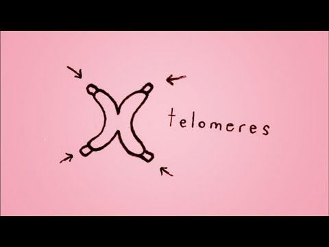 A Brief Look at What are Telomeres and how they Function as Our Age Clock that Controls Our Aging.