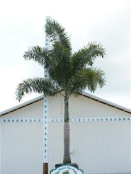 Foxtail Palm | Wodyetia Bifurcata | Palmco - Wholesale Palms, Florida