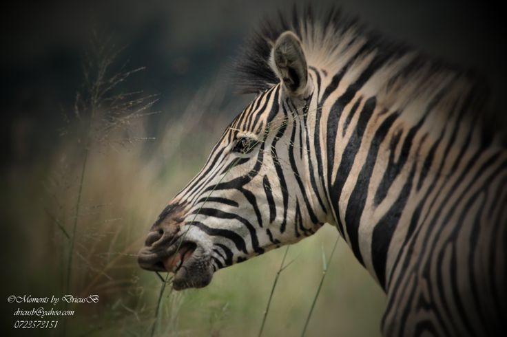 Zebra grazing peacefully