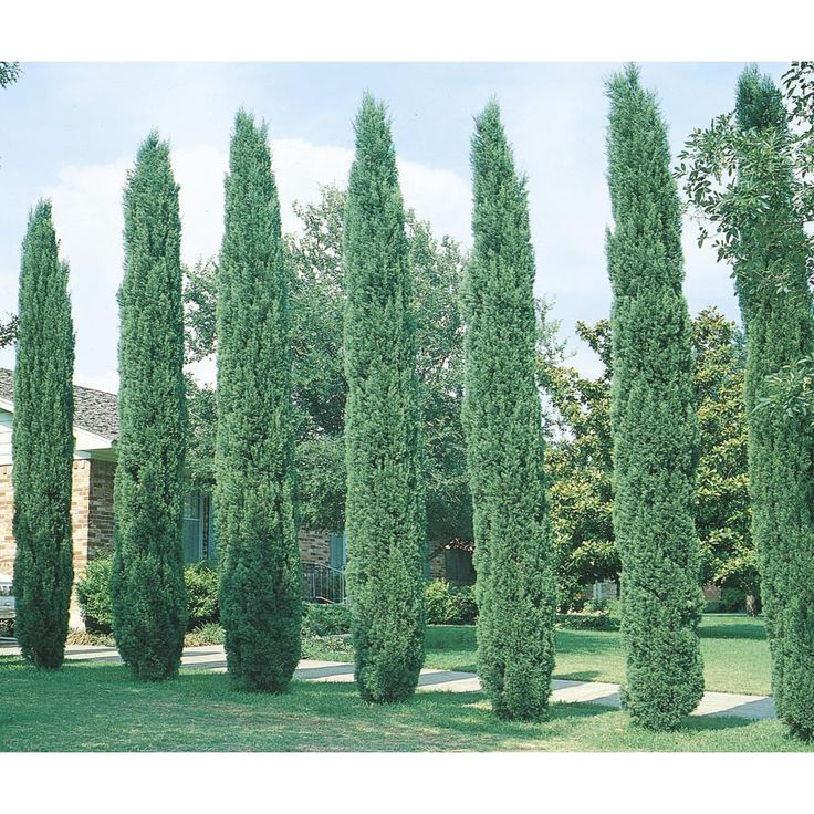 Tuscan House Style With Front Walkway And Italian Cypress: Best 25+ Italian Cypress Trees Ideas On Pinterest