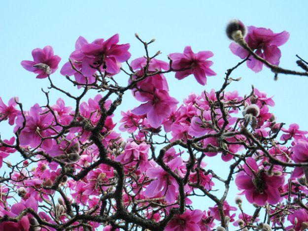 Znalezione obrazy dla zapytania magnolia lanarth