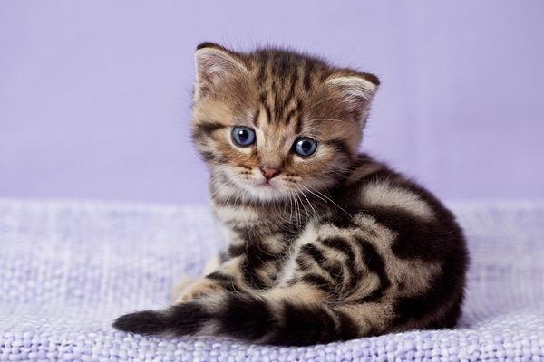 Zauberhafte BKH Tabby Kitten in gold und silber....