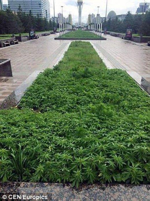 Καζακστάν: Από γκάφα γέμισαν την πόλη με φυτά μαριχουάνας
