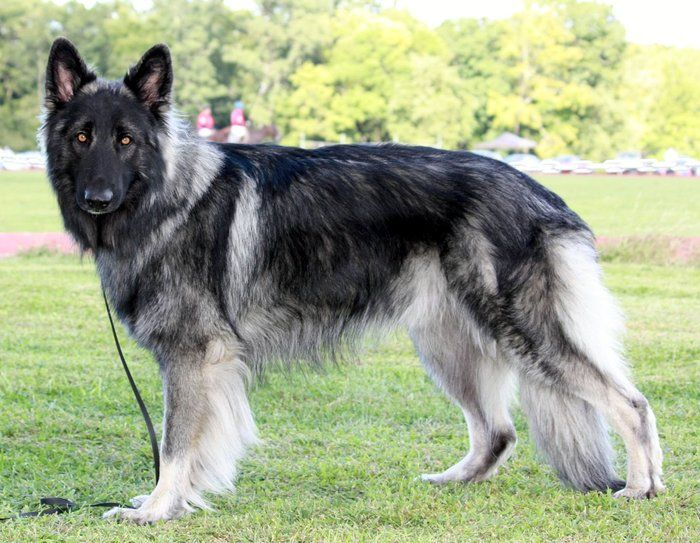 Shiloh Shepherd. I'd still prefer a German shepherd, but these dogs look so similar to a gsd and they're gorgeous as well.